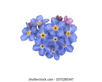 Closeup of delicate forget me not flowers, isolated on white backlit background.