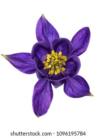 Closeup of a delicate purple Columbine flower, isolated on white background.