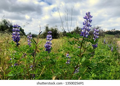 Close-up of delicate purple lupine wildflowers om a green field