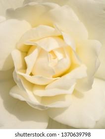 Closeup of a delicate white rose