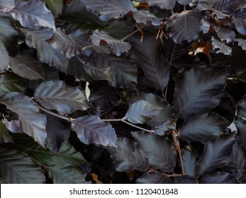 Closeup of densely packed copper beech leaves