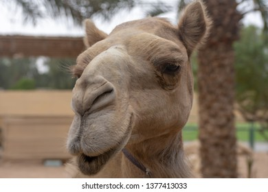 Close-up of a desert dromedary camel (Camelus dromedarius) face and mouth in the Middle East in the United Arab Emirates with and look at the hairy detail.