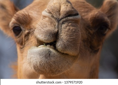 Close-up of a desert dromedary camel facial expression with its mouth and teeth showing in the Middle East in the United Arab Emirates with a look at the hairy detail. Dromedary camel (Camelus dromed