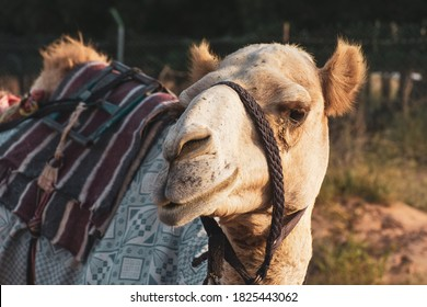 Close-up of a desert dromedary camel facial expression with its mouth and teeth showing in Middle East in the United Arab Emirates with a look at the hairy detail. Dromedary camel (Camelus dromedarius