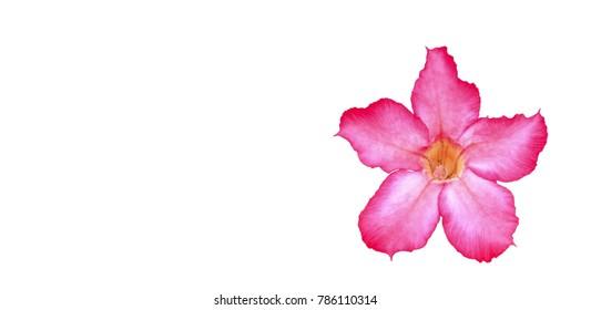 Closeup of Desert Rose Tropical flower (Also called Impala Lily, Mock Azalea, Pink adenium)