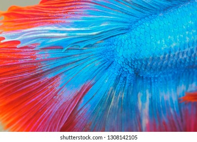 Close-up detail of body and tail beautiful siam betta fish with colorful blue and red color, aquatic pet fish in thailand.