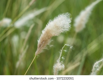 Close-up detail of cotton grass seed head eriophorum in rural meadow