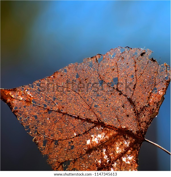 Closeup detail of dry leaf with blue background