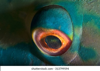 Close-Up Detail of the Eye of a Parrot Fish
