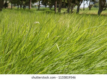 Closeup detail of grass plants growing in rural countryside hay field meadow on farm