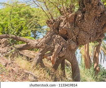 Close-up detail of large abstract old tree trunk on grass slope with leafy canopy