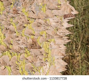 Close-up detail of large trunk on silk floss tree ceiba speciosa with spiky thorns and grass meadow background