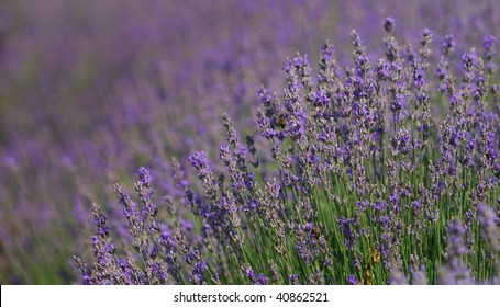 Closeup detail of a lavender field. aromatic herbal plant