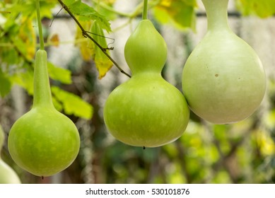 Close-up detail of multiple bottle gourds on a vine, ready for harvest. Agriculture and nature concept.