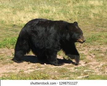 Closeup detail of North American black bear walking in grass