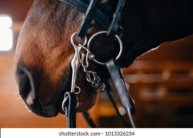 Close-up detail Nose of brown horse, bridle, saddle.