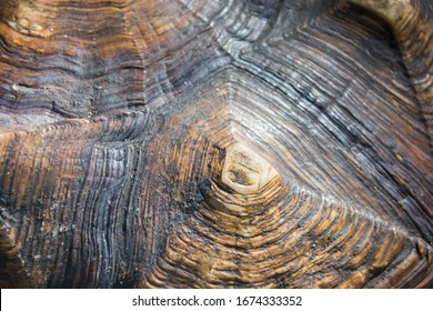 close-up of detail on the shell of a turtle, a yellow-footed tortoise (Chelonoidis denticulatus), also known as the Brazilian giant tortoise