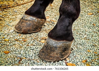 Closeup detail on two Horse Hooves