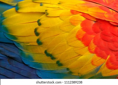 Close-up detail of parrot plumage. Scarlet Macaw, Ara macao, detail of bird wing, nature in Costa Rica. Red, yellow and blue feathers.