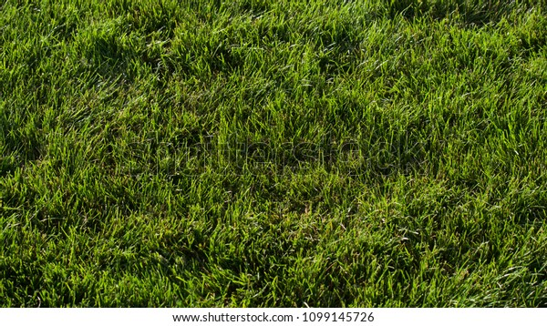 Close-up detail of a patch of think, green, Kentucky blue grass lawn on summer day.