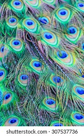 Close-up detail of a peacock's tail feathers.