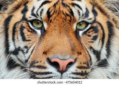 Close-up detail portrait of Sumatran tiger, Panthera tigris sumatrae, rare tiger subspecies that inhabits the Indonesian island of Sumatra.