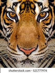Close-up detail portrait of tiger, Beautiful face portrait of tiger. Striped fur coat.