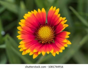 Close-up detail of a red and yellow firewheel flower petals gaillardia pulchella and stigma in garden