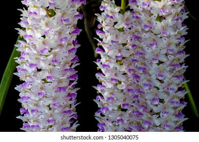 Close-up detail of Species Orchid Rhynchostylis retusa