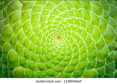 Close-up detail of spiral pattern of the succulent plant