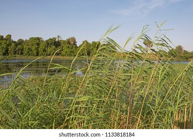 Closeup detail of tall grass reeds growing along bank of large river rural countryside landscape