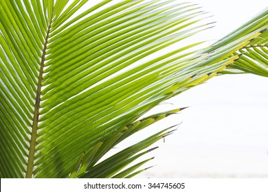 Closeup detail of tropical coconut palm frond on white background with copy space
