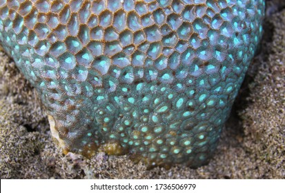 Closeup detail of turquoise color and complex structure pattern of pineapple brain coral at low tide, in Bali Indonesia. Blue background colors art copy space