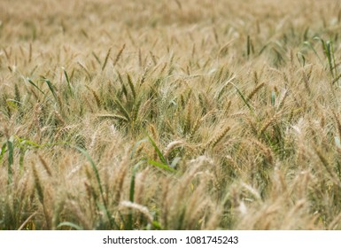 Closeup detail of wheat plants growing in rural countryside field meadow on farm