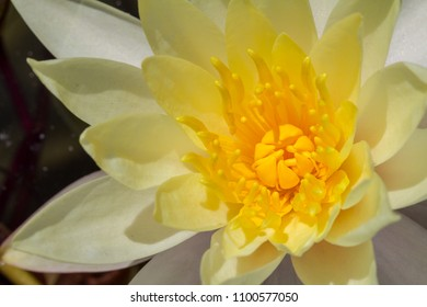 close-up detail of a yellow water lily flower in full bloom.