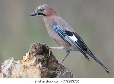 Close-up and detailed portrait of a Eurasian jay sitting on a log  on a smooth blurred green background