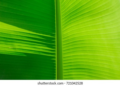Close-up details of banana leaves.