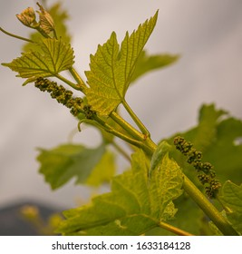 Close-up of developing inflorescences on grapevine (vitis vinifera) in spring time. Young buds of grapevine. Trentino Alto Adige, northern  Italy, Europe.