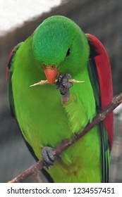 Closeup of a dexterous Red-winged parrot (Aprosmictus erythropterus) sitting on one leg while hawing a snack in the other.