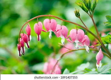 Close-up of Dicentra spectabilis, bleeding heart flower in the garden with green colors in soft-focus in the background