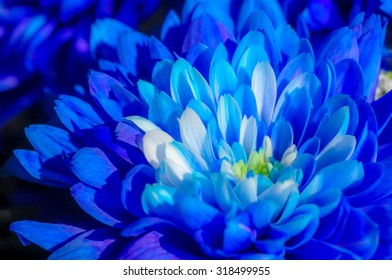 Close-up of different shades of blue Chrysanthemum flower in soft focus effect