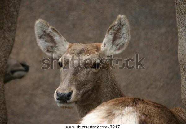 close-up of doe