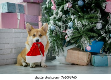 Close-up of a dog in a bright living room sitting next to a Christmas tree holiding Santa Claus's hat in his mouth looking happy