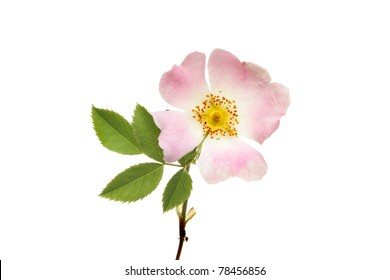 Closeup of a dog rose flower and leaves isolated against white