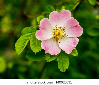 Close-up of a dog rose, Rosa canina, with green leaves on a blurry background.