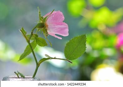 Close-up of a dog rose, Rosa canina and drops