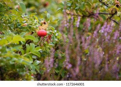 Close-up of dog-rose berries. Dog rose fruits Rosa canina . Wild rosehips in nature.