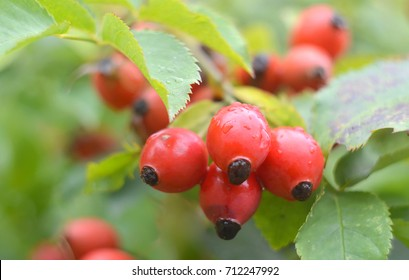 Close-up of dog-rose berries. Dog rose fruits (Rosa canina). Wild rosehips in nature.