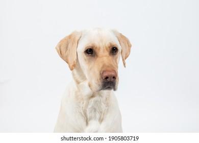 Closeup of dogs face on white background, yellow labrador retriever.