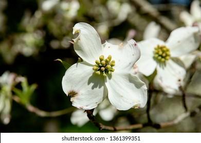 Closeup Dogwood Blossom